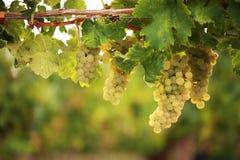Witte druiven op wijnstok Stock Afbeeldingen