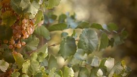Witte druiven voor wijn stock video