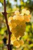 Witte druiven in wijngaard Royalty-vrije Stock Afbeeldingen