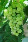 Witte druiven in wijngaard Stock Foto