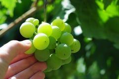 Witte druiven in wijngaard Stock Foto's