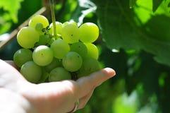 Witte druiven in wijngaard Stock Afbeeldingen