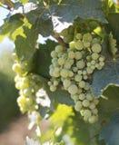 Witte Druiven in wijngaarden Stock Foto