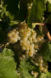 Witte druivenwijn Royalty-vrije Stock Foto
