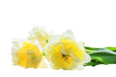 Witte dubbele tulpen op witte achtergrond stock afbeeldingen