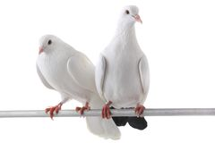 Witte duif Royalty-vrije Stock Afbeeldingen