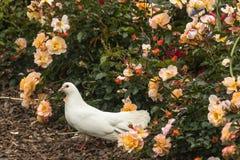 Witte duif in bed van rozen Stock Foto's
