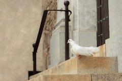 Witte duif bij de ingang van de kerk royalty-vrije stock foto