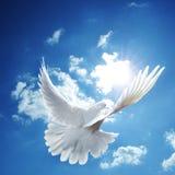 Witte duif blauwe hemel Stock Afbeeldingen