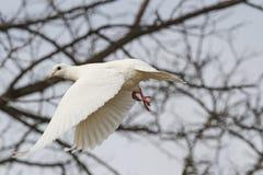 Witte duif die door het struikgewas vliegen Royalty-vrije Stock Foto