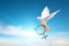 Witte duif die groene tak die in de vorm houden van het Venussymbool op blauwe hemel vliegen Royalty-vrije Stock Foto