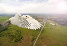 Witte duif die over de stad en de weg met zonnige hotspot vliegen Royalty-vrije Stock Afbeeldingen