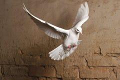 Witte duif die tegen een achtergrond van een oude bakstenen muur vliegen Stock Afbeeldingen