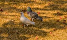 Witte duif die zich met grijze duif bevinden Royalty-vrije Stock Foto's
