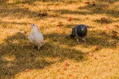 Witte duif die zich met grijze duif bevinden Stock Afbeeldingen