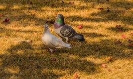 Witte duif die zich met grijze duif bevinden Royalty-vrije Stock Afbeeldingen