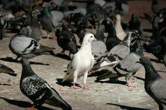 witte duif in een groep duif Royalty-vrije Stock Foto