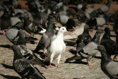 witte duif in een groep duif Stock Foto's