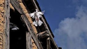 Witte duif en Duif die van schuur opstijgen stock videobeelden