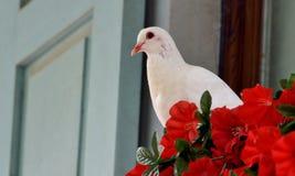 Witte duif en rode bloemen Stock Fotografie