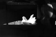 Witte duif in het venster Stock Fotografie