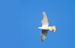 Witte duif op blauwe hemel Stock Afbeeldingen
