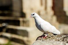Witte duif op steen bij in openlucht stock fotografie
