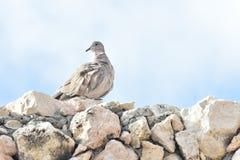 Witte duif op steenmuur Stock Foto
