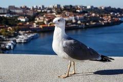 Witte duif over de stadsachtergrond, duif over blauwe hemel Stock Foto