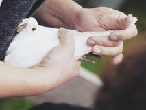 Witte duif ter beschikking Royalty-vrije Stock Afbeeldingen