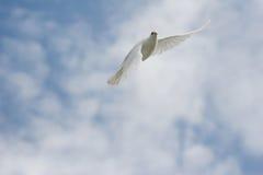 Witte duif tijdens de vlucht Stock Foto's
