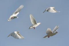 Witte duif tijdens de vlucht stock afbeeldingen