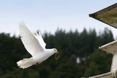 Witte duif tijdens de vlucht Stock Foto