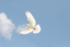 Witte duif tijdens de vlucht royalty-vrije stock foto