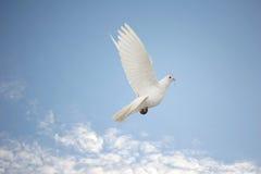 Witte duif tijdens de vlucht Royalty-vrije Stock Afbeeldingen