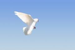 Witte duif tijdens de vlucht royalty-vrije stock foto's