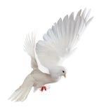 Witte duif tijdens de vlucht Royalty-vrije Stock Fotografie