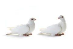 Witte duif twee Royalty-vrije Stock Foto