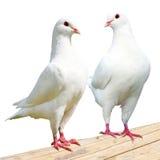 Witte duif twee - keizer-duif Stock Foto