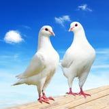 Witte duif twee op toppositie met mooie hemel royalty-vrije stock foto