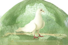 Witte duif van vrede Royalty-vrije Stock Fotografie