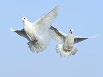 Witte duif in vrije vlucht Royalty-vrije Stock Afbeelding