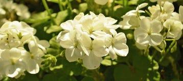 Witte duifbloemen Stock Afbeelding