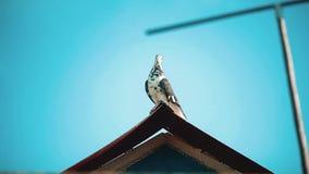 Witte duifzitting op het dak Close-upportret van mooie grote witte en witte gekweekte duif met het oranje oog neerstrijken stock videobeelden