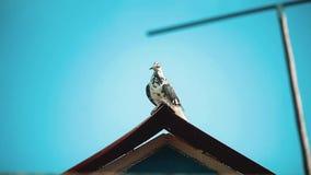 Witte duifzitting op het dak Close-upportret van mooie grote witte en witte gekweekte duif met het oranje oog neerstrijken stock footage