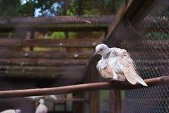 Witte Duifzitting op tak in dierentuin Duiven in een kooi royalty-vrije stock foto