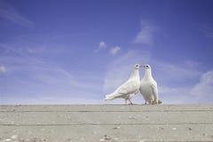 Witte duiven Stock Fotografie