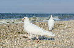Witte duiven op het overzees Stock Afbeelding