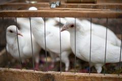 Witte duiven voor een huwelijk in een birdcage, witte vogel in een kooi Stock Foto's