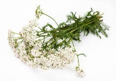 Witte Duizendbladbloemen Royalty-vrije Stock Afbeelding